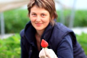Erdbeere bei der Ernte