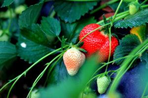 Erdbeeren im Erdbeerfeld
